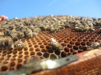01 Bees on a Honey Comb